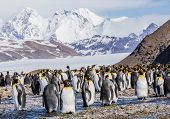 King Penguins in the late Afternoon Sun