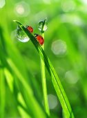 dew drops and ladybirds
