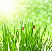 Fresh green grass with ladybirds
