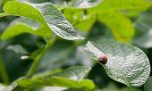 Colorado Beetle Larva