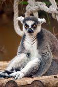 Sitting Ring-tailed Lemur (lemur Catta)