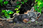 Grey Fox Kit (urocyon Cinereoargenteus) Sniffs At Mother's Mouth