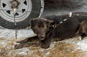 Sled Dog Clipped To Line Near Truck