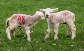 stock photo of the lost sheep  - Newborn Spring Lambs near Holmfirth - JPG
