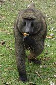 Baboon, Ethiopia, Africa