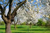 foto of orchard  - Blossoming Orchard in Sunny Spring Day - JPG