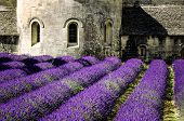pic of notre dame  - Abbey of Senanque and blooming rows lavender flowers. Gordes Luberon Vaucluse Provence France.