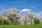Blossoming Orchard In Spring Day