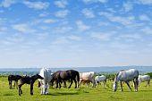 horses drove on pasture