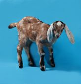 foto of nubian  - Black white and red Nubian lamb on blue background - JPG