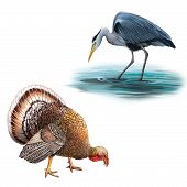 Grey Heron standing in the water hunting with head bent down, Ardea Cinerea, Big beautiful male turk