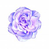 Blue purple rose flower isolated on white background
