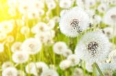 image of dandelion  - Dandelions in a field close up in the sun - JPG
