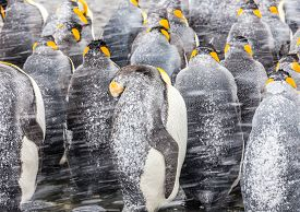 pic of huddle  - A group of huddling King Penguins turn their backs to a snow blizzard - JPG