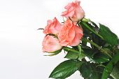 stock photo of bunch roses  - Bunch of pink roses isolated close up - JPG