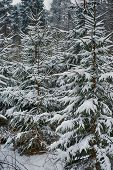 stock photo of blanket snow  - evergreens trees covered in blanket of winter snow. ** Note: Visible grain at 100%, best at smaller sizes - JPG