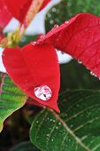 picture of poinsettias  - Close-up of vibrant red poinsettia and water drops ** Note: Shallow depth of field - JPG