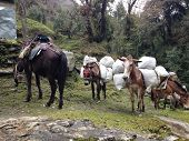 pic of mule  - the mules are carrying stuffs for trekking in Nepal - JPG