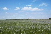 picture of flax plant  - blooming blue flax in a farm field and light clouds in the blue sky  - JPG