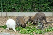 foto of wallabies  - grazzing family of cute Red necked Wallaby kangaroo  - JPG