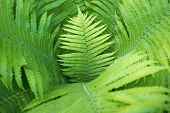 pic of fern  - many green fern leaves with focus on central one - JPG