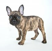 stock photo of french bulldog puppy  - Cute French Bulldog puppy standing on a white background - JPG