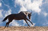 stock photo of galloping horse  - Dark brown horse galloping against blue sky - JPG