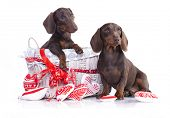 stock photo of dachshund  - couple puppies dachshund chocolate colors - JPG