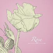 image of rose bud  - Hand drawn vector blomming rose with bud - JPG