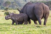 pic of rhino  - Baby white rhino with the start of a horn and ears pricked - JPG