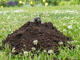 image of mole  - Mole poking out of mole mound on grass - JPG