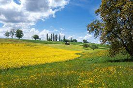stock photo of rape-field  - Yellow blooming rural landscape with flower meadow - JPG