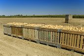Large bins full of potatoes in field during the harvest time in summer