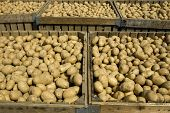 picture of tuberose  - Large bins full of potatoes during the harvest time - JPG