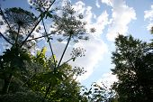 Hogweed Against The Sky