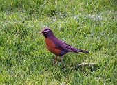 Spring Robin On Grass