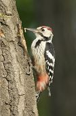 White-backed Woodpecker, Dendrocopos Leucotos