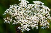 Yarrow Plant Flower Head