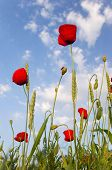 Poppy And Wheat Over Blue Sky