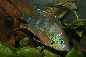 Mexican Fire Mouth (Thorichthys aureus)
