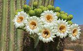 Saguaro flor