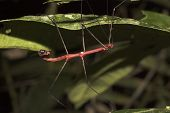 Red Walkingstick