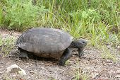 image of gopher  - Endangered Gopher Turtle or Tortoise walking on green grass with neck extended and legs extended - JPG