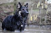 German Shepherd dog gsd in water poster