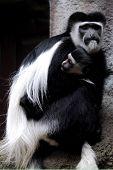 Zoo Animal colobus monkey