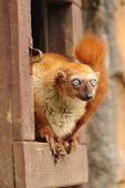Zoo Animal rojo Lemur