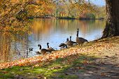 Geese by a Pond