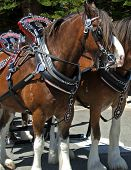 picture of clydesdale  - clydesdale horse tacked up - JPG