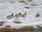Wild Ducks On Snow 2