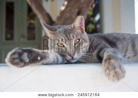 poster of Healthy Pet - Happy Owner. Kitten In Patmos, Greece. Shorthair Cat Relax Outdoor. Cute Pet With Grey